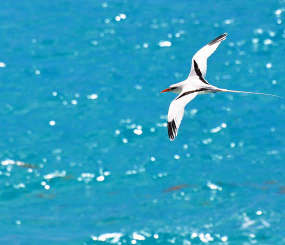 Bermuda Longtail Bird Flying Over Blue Water